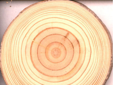 New Growth Pine Tree - wider rings